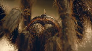 Tarantula Mating: don't lose your head! | Wild Patagonia | BBC Earth