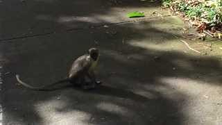 preview picture of video 'Nevis Green Monkeys on Nevis Four Seasons Golf Course (aka I don't like monkeys)'