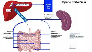 The Hepatic Portal System EXPLAINED!