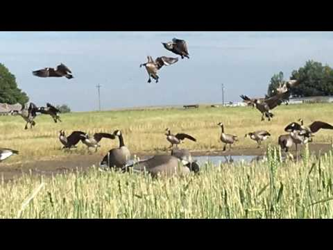 decoying-geese-over-dave-smith-decoys