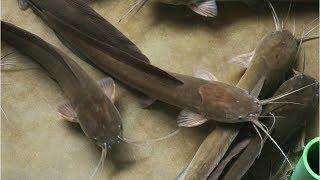 singhi fish breeding - Thủ thuật máy tính - Chia sẽ kinh