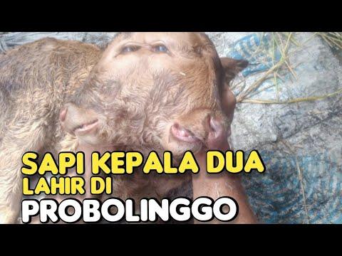 Sapi Kepala Dua, Lahir di Probolinggo