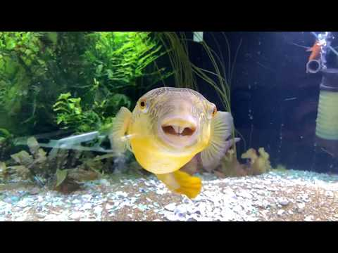 Giant Puffer Fish eating a bunch of Snails.
