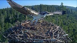 Mussel on the nest of the osprey