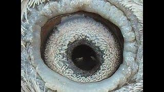 Sialkoti Pigeon Breeds - UAETIPPLERS PRESENTATION