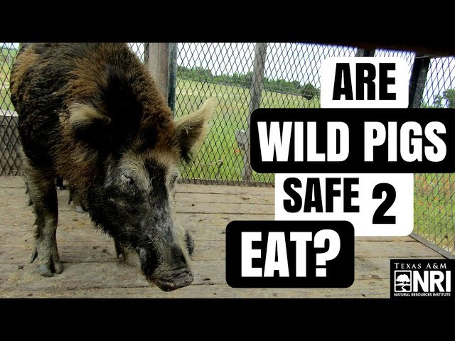 Are Wild Pigs Safe To Eat