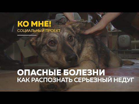 «Ко мне!»: опасные болезни собак