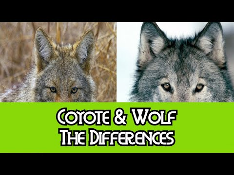Coyote & Wolf - The Differences