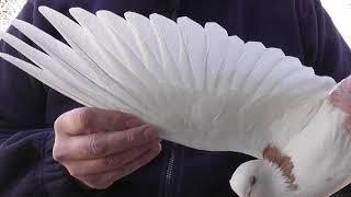 Как определить в руках хорошо летающего голубя-долголета?! 1 часть