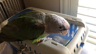 Truman Cape Parrot - Messing Around with Kili in the Travel Carrier