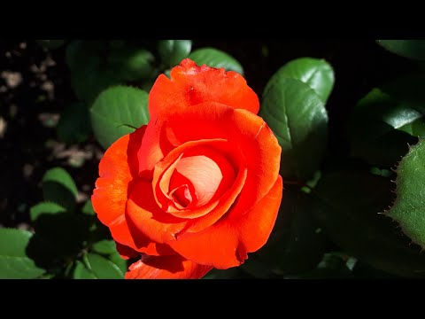 Признание в любви из красивых роз.