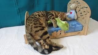 """Бенгальская кошка, бенгальские котята  питомник """"Skyey Gift"""""""
