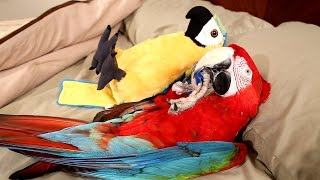 Santina Green-Winged Macaw in Bed With Another Parrot!?