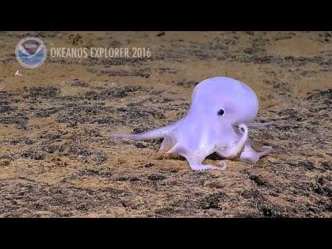 hqdefault Глубоководное привидение (фото и видео)