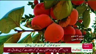 Amlok Fruit Persimmon Japani Pha in Swat Valley Report Sherin Zada Hum News