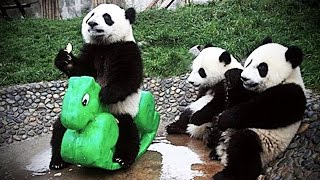 Playing Pandas 🐼 Baby Panda [Funny Pets] - Video Youtube
