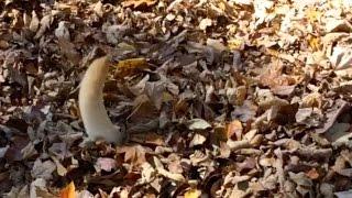 كلب مولع بالبحث عن كرات التنس في كومة من أوراق الشج
