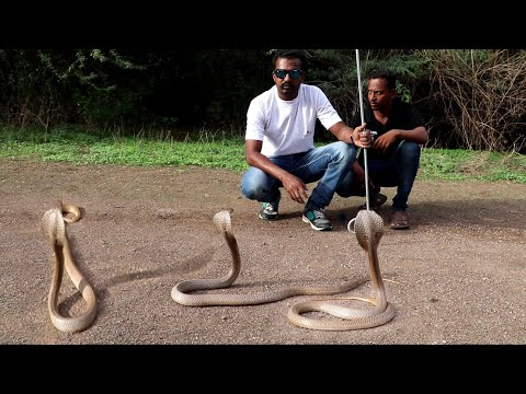 Snake release time and snake information   wildlife rescue society Ahmednagar