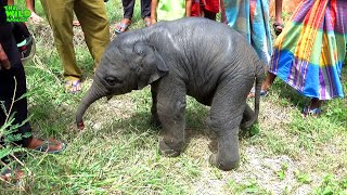 One Day Old Baby Elephant Left Behind By Elephant Herd, Saved!