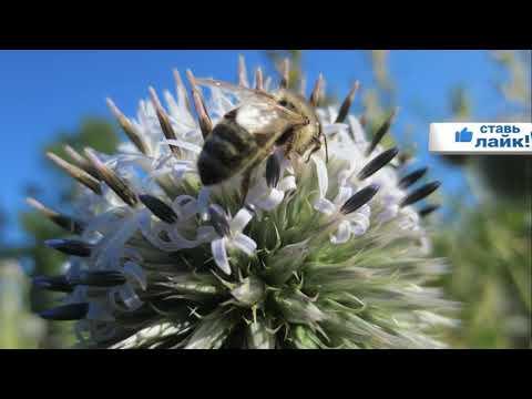 Пчеловодство. Поддерживающий взяток с мордовника шароголового. Медоносы в августе.