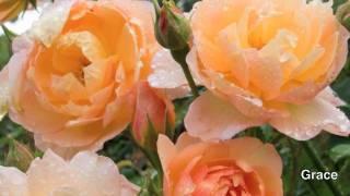 David Austin English Rose Collection (Revised)