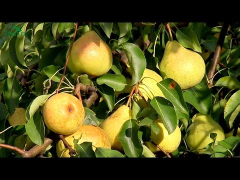 ЯБЛОКИ И ГРУШИ. Как сохранить урожай и уберечь от ос и муравьёв - 7 дач