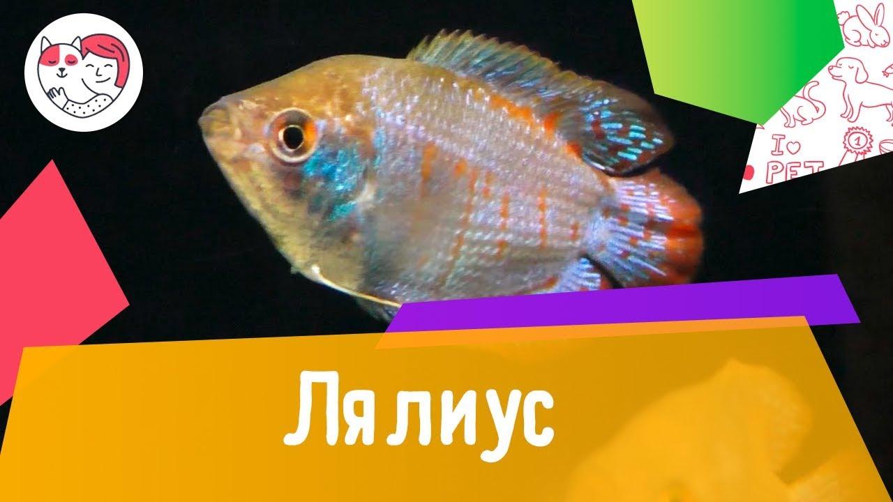 Аквариумная рыбка лялиус. Особенности. Уход.