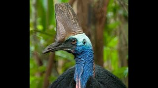 Tropical North Queenland Endangered Species - Cassowary