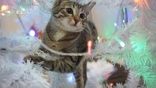 Кошка Сяма создаёт новогоднее настроение в редакции E1.RU