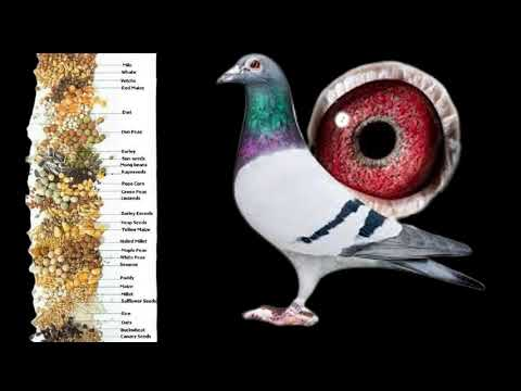 , title : 'Racing Pigeon Secret Feeding Tips! Your Pigeons Flying at Lightning SPEED!