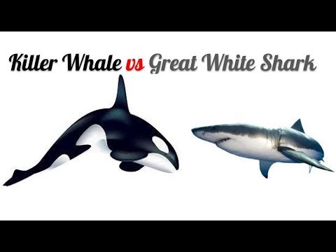 Orca vs great white shark (very shitty but very accurate at