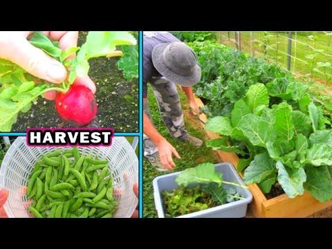 Container Garden Harvest & Update #2 vegetable gardening plant raw food