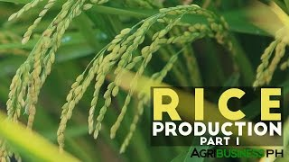 Rice Production Part 1 :  Rice Production in the Philippines | Agribusiness Philippines