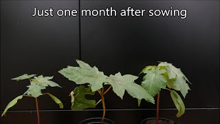 Growing Castor Oil Plants From Seed (With Time Lapse)