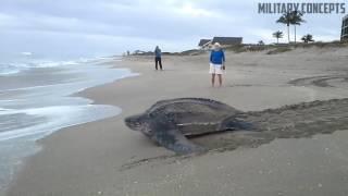 World's Largest Sea Turtle! Giant Leatherback Sea Turtle!