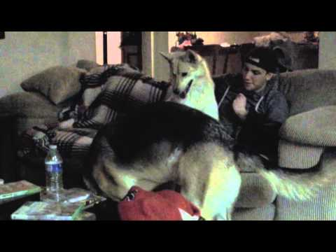 Coyote Vs German Shepherd