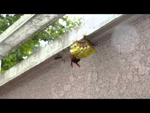 スズメバチに襲われてます