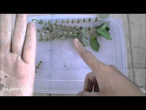 Video Cara Memanen Biji Benih Kemangi Lemon Basil