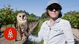 Barn Owls: The Secret Saviors Of Napa Valleys Vineyards