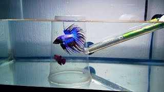 Como Reproducir Peces Betta(corona) (26)How To Reproduce Betta Fish ,TBS