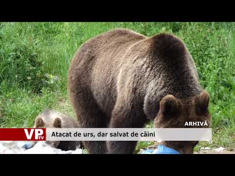 Atacat de urs, dar salvat de câini