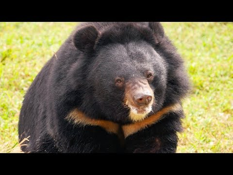 Behind the scenes at the sanctuary ending bear bile farming