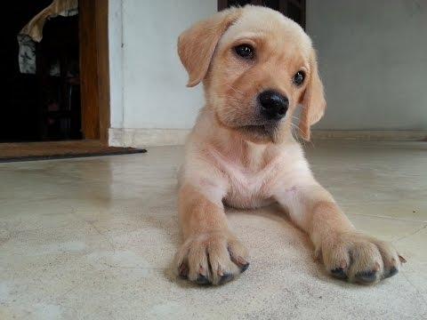 Labrador puppy training - YouTube