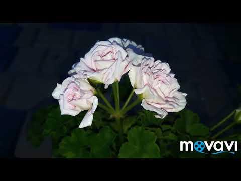 Пеларгония Rococo розебудный иви-гибрид
