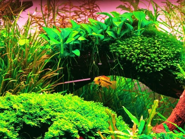 Popular Fish For The Planted Aquarium - Algae-Eaters Shoaling Fish And More