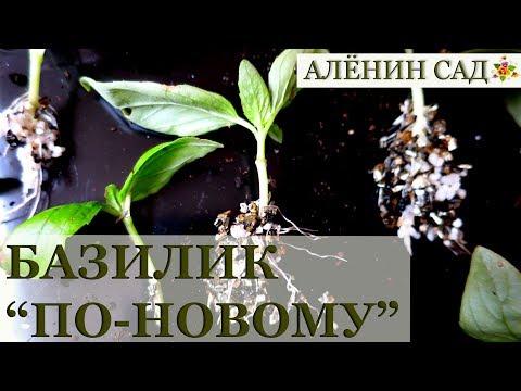 Не забудьте так сделать! БАЗИЛИК для домашнего огорода зимой / Выращивание базилика