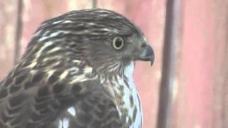 A Young Juvenile Hawk ~ Cooper's Hawk
