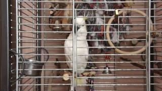 Papoušek kakadu mluví a napodobuje pejska