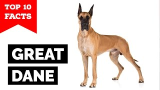 Great Dane - Top 10 Facts