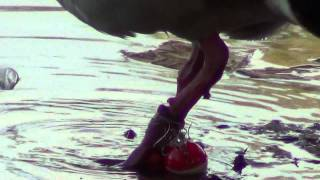 preview picture of video 'Nile Goose Foot Entangled with fishing line at Huntington Beach Central Park'